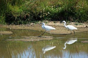 oiseaux de la réserve du Teich